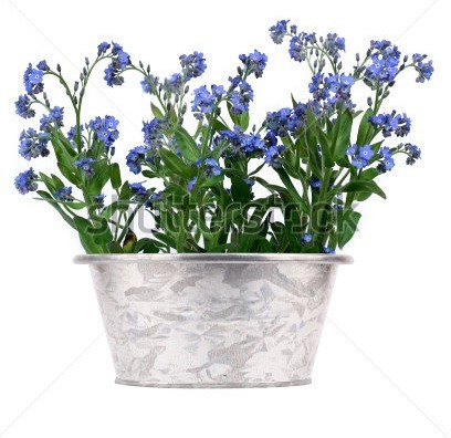stock-photo-bush-of-forget-me-nots-in-metal-pot-on-white-background-45595240