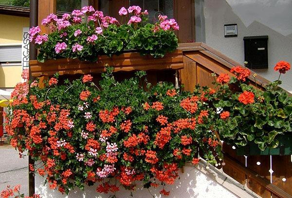 Kết quả hình ảnh cho hoa ban cong