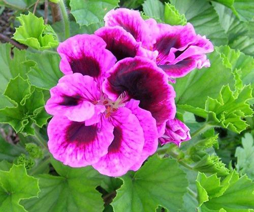 hoa-phong-lu2