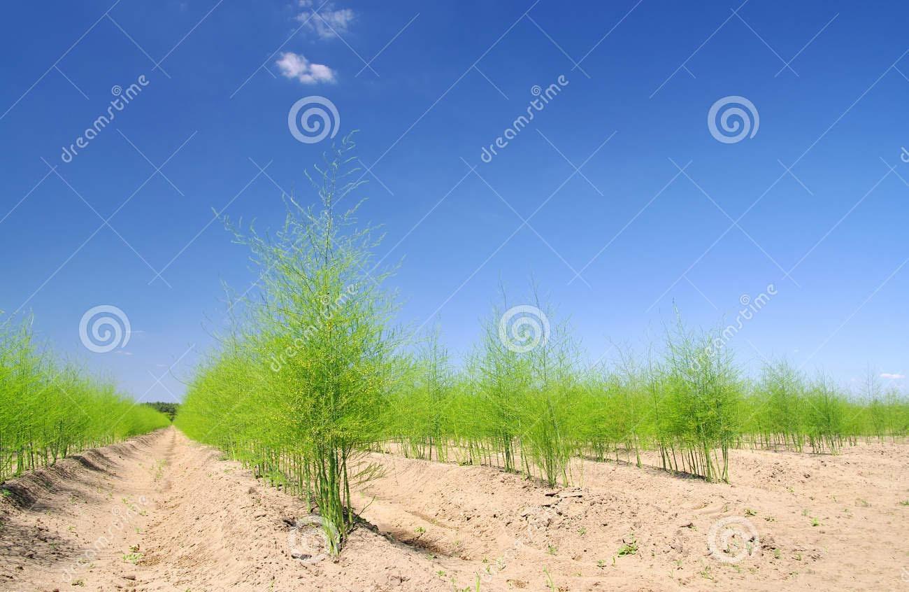asparagus-field-15010614