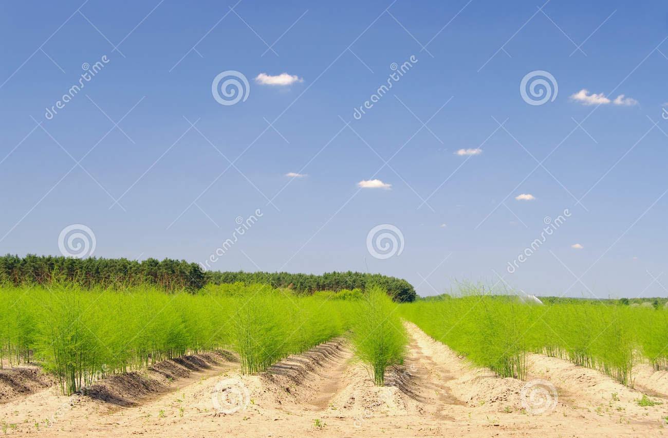 asparagus-field-green-summer-35444829