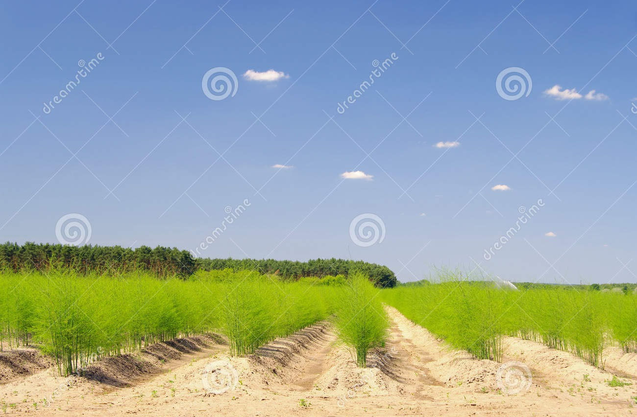 asparagus-field-green-summer-35444829