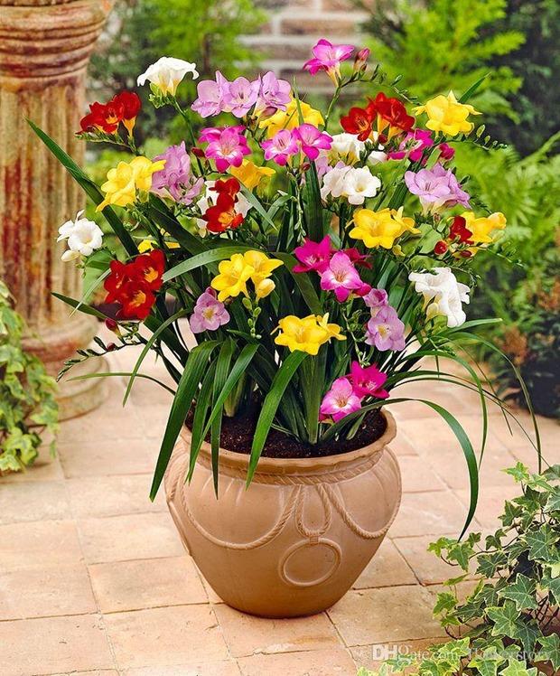 100-freesias-seeds-gorgeous-diy-garden-colorful